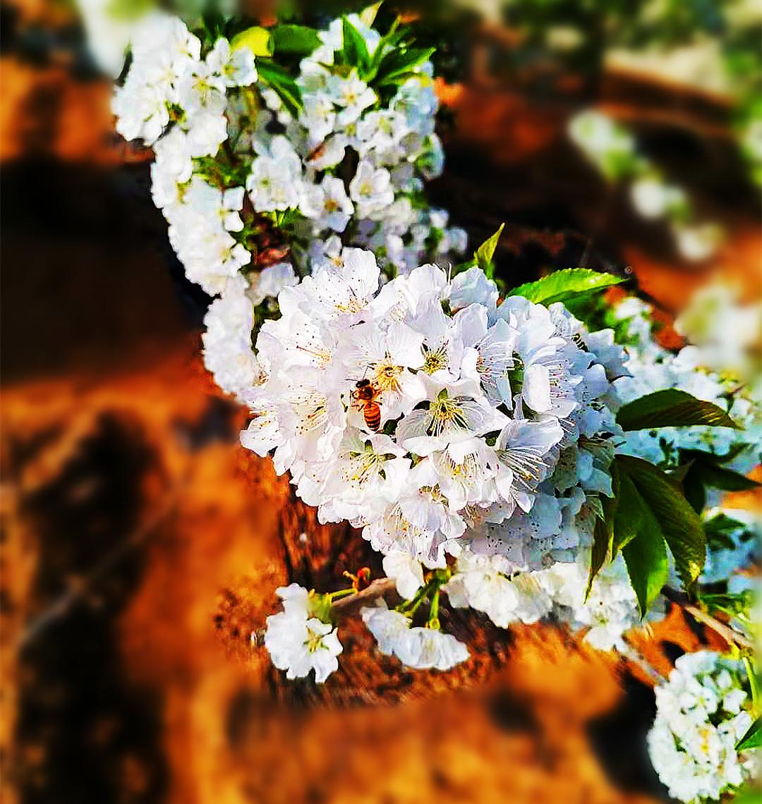 三月里的樱桃大棚!