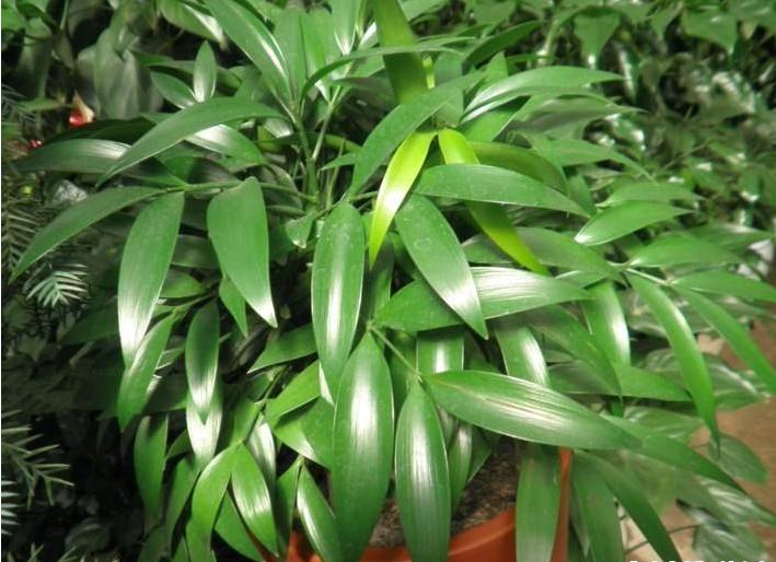 竹柏的栽培技術與養護管理